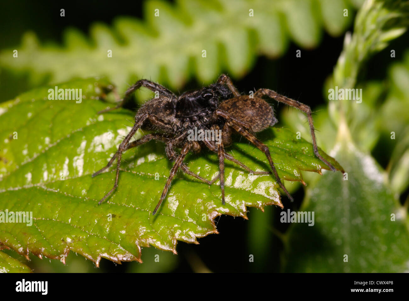 Spotted wolf spider (Pardosa amentata : Lycosidae), mating pair, UK - Stock Image