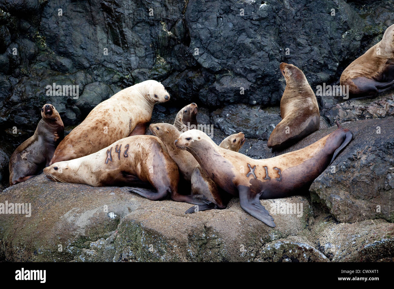 Stellar sea lions (Eumetopias jubatus) hauled out on rocks off the coast of Alaska. - Stock Image