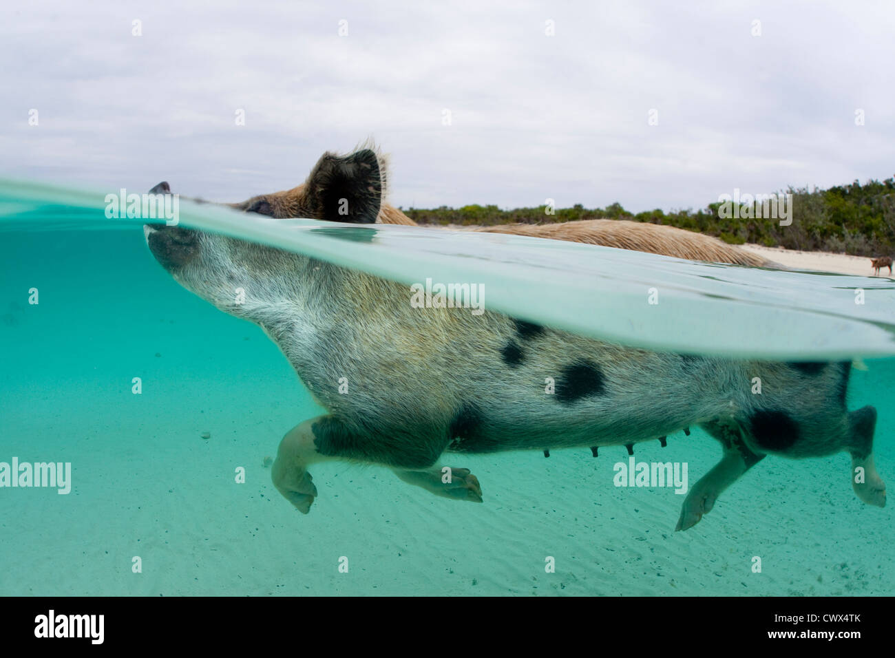 A feral pig swims in the clear waters of the Bahamas at Staniel Cay to greet a boat full of tourists. - Stock Image