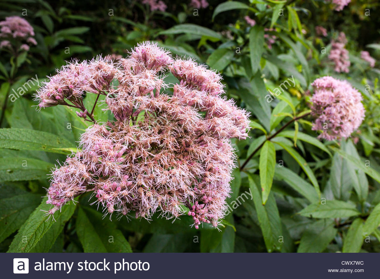 Spotted Joe-Pye-Weed or Eupatorium maculatum in Rouge National Urban Park an urban wilderness in Toronto Ontario - Stock Image