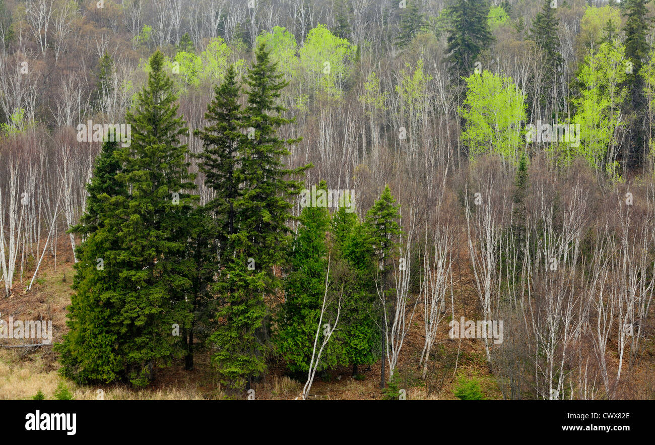 Spruces and aspens with fresh new foliage, Greater Sudbury, Ontario, Canada - Stock Image