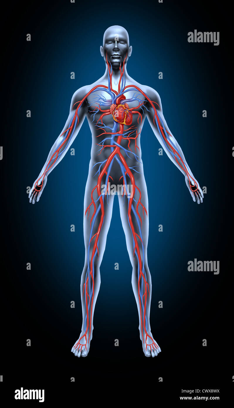 Human blood circulation in the cardiovascular System with heart ...