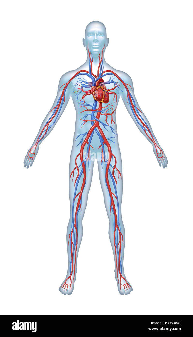 Human Cardiovascular heart system with heart anatomy from a healthy ...