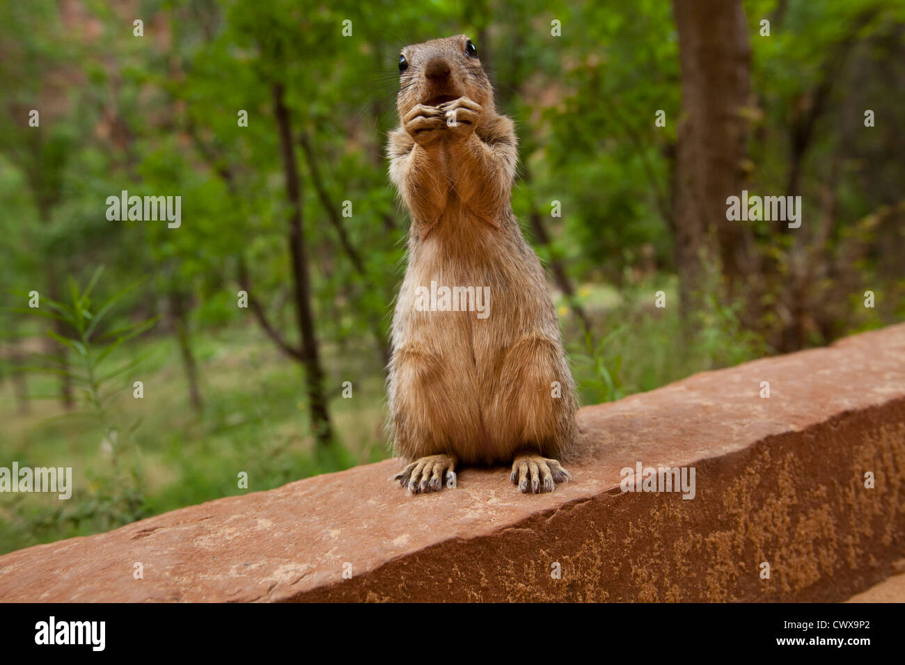 Squirrel, Zion Canyon National Park, Utah, United States of America - Stock Image