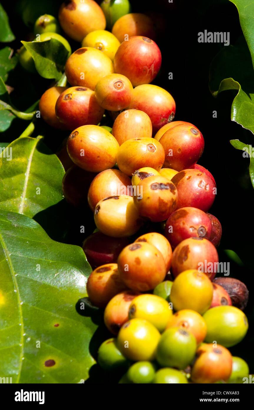 Guatemala, Santiago Atitlan. Coffee tree santiago atitlan lake atitlan, guatemala. - Stock Image