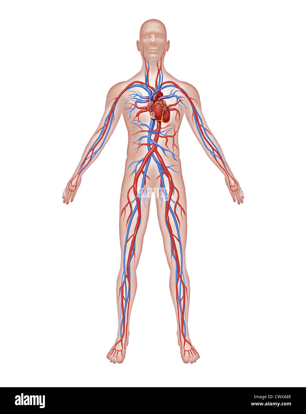 Human Circulation Anatomy And Cardiovascular Heart System With A