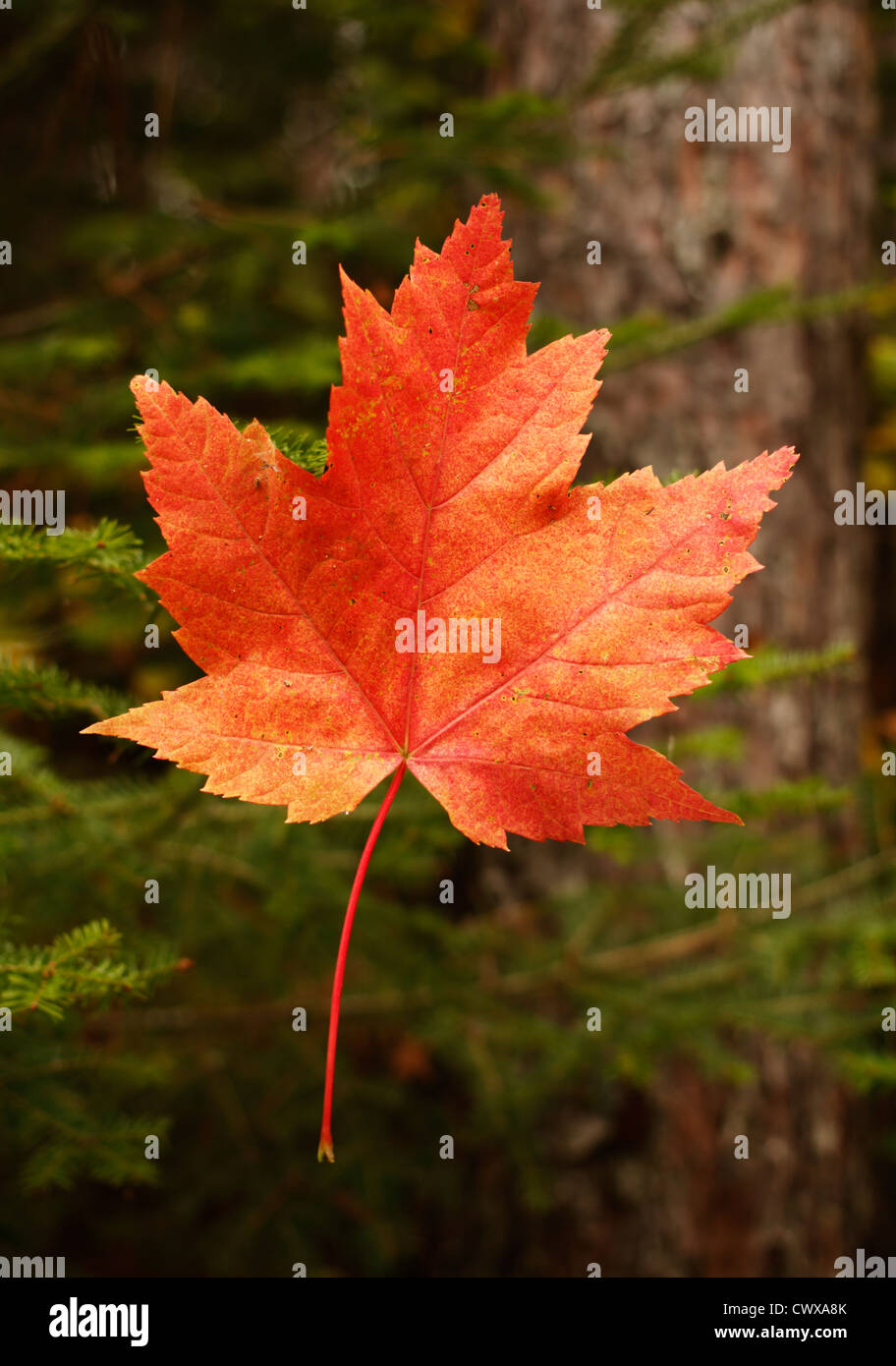 Reddish orange autumn maple leaf in a Northern Minnesota forest. - Stock Image