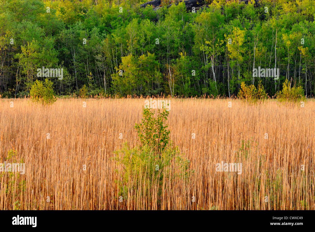 Reedbeds along shore of Robinson Lake, Greater Sudbury, Ontario, Canada - Stock Image