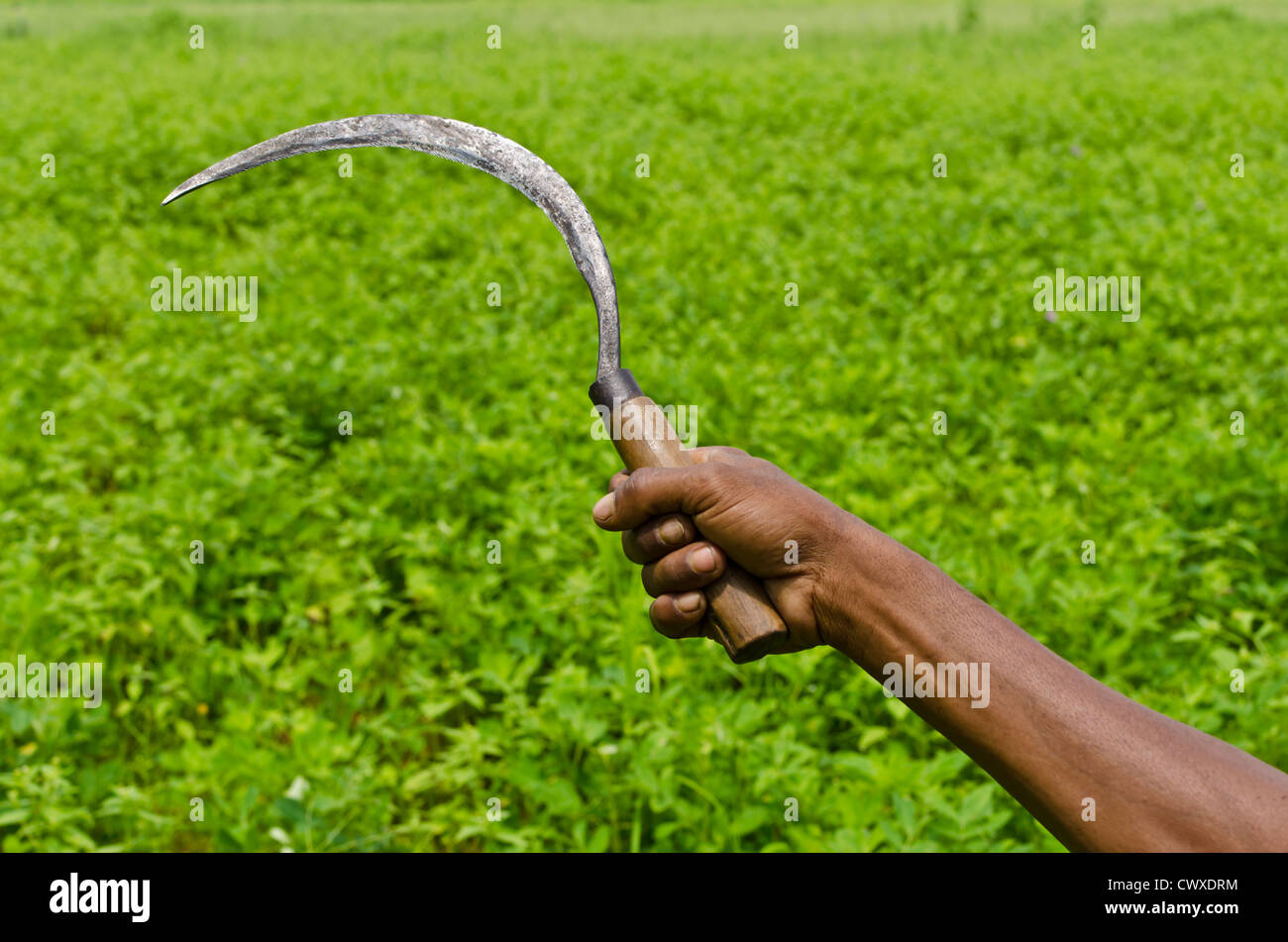 Hand holding sickle at the green farm at the background. Kansabel, Chhattisgarh, India. - Stock Image