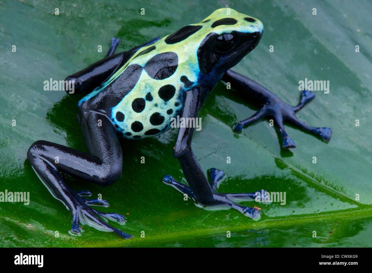 Dyed dartfrog / Dendrobates tinctorius - Stock Image