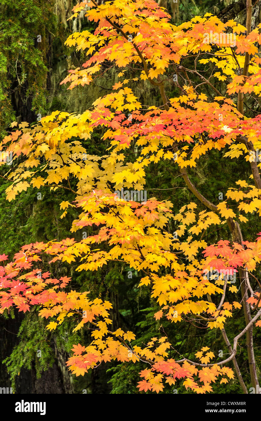 Vine maple tree with fall color; Gifford Pinchot National Forest, Cascade Mountains, Washington. - Stock Image
