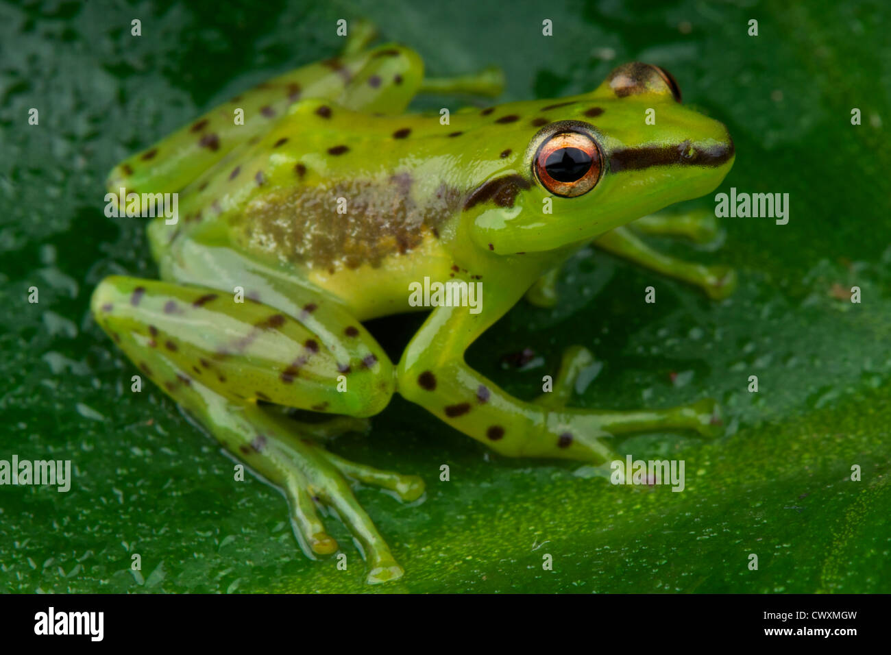 Speckled glass frog / Mantidactylus pulcher - Stock Image