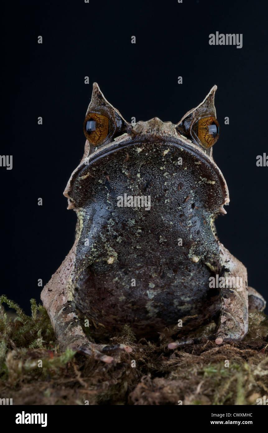 Malayan horned frog / Megophrys nasuta - Stock Image