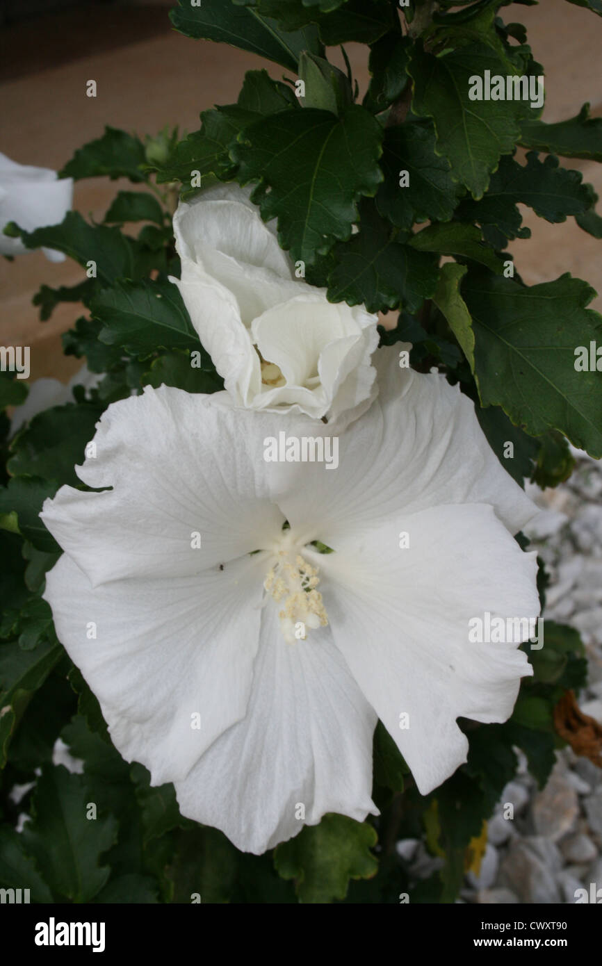 Hibiscus Flower White Flowers Picture Stock Photo 50376956 Alamy