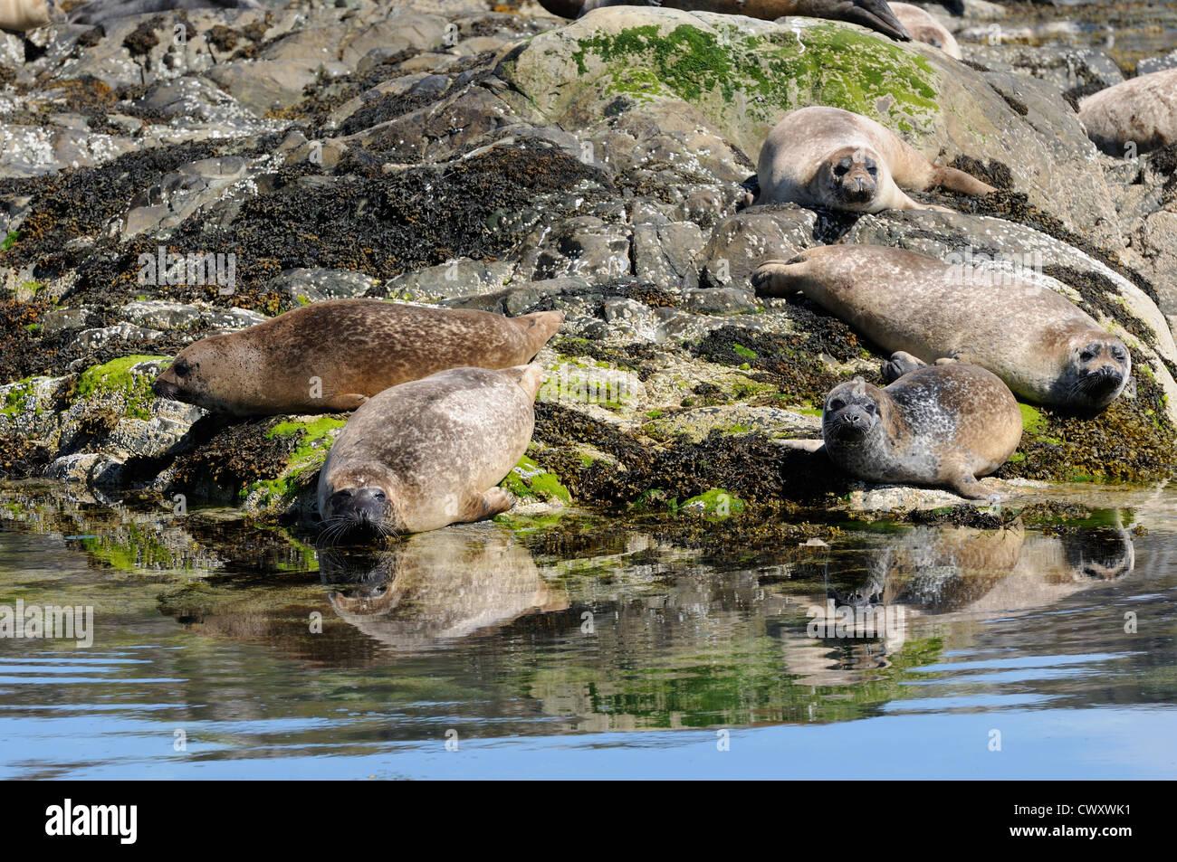 Common seals basking on rocks, Loch Alsh, Scotland Stock Photo