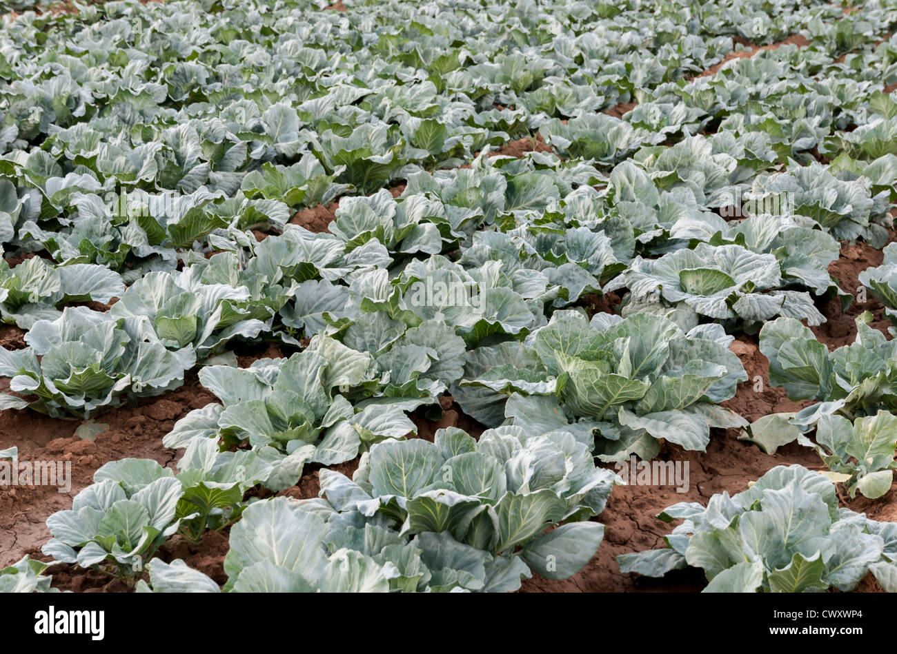 Young cabbages grown on forest soil to the river Stock Photo
