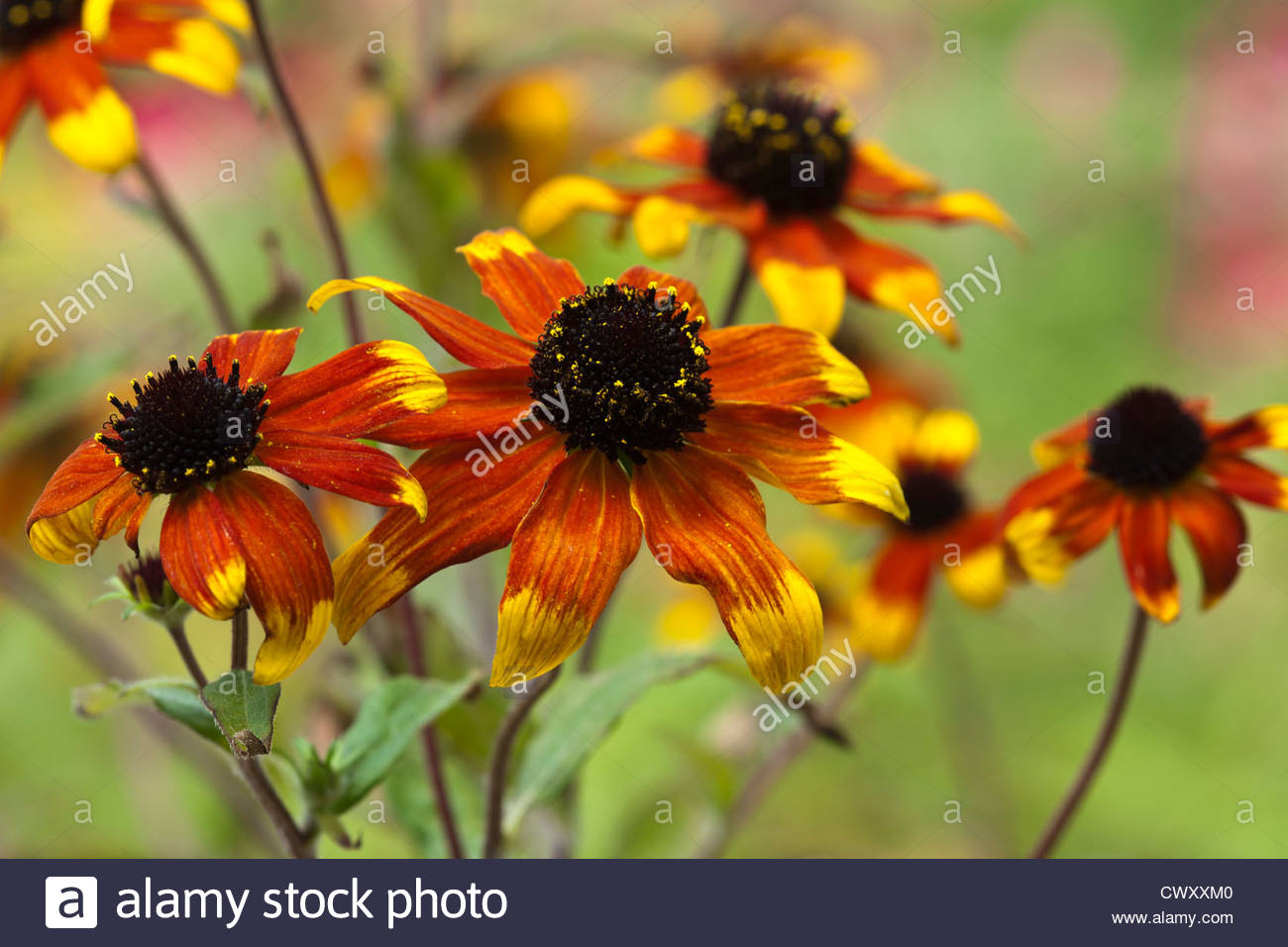 Rudbeckia prairie glow stock photos rudbeckia prairie glow stock browneyed susan rudbeckia triloba prairie glow summer flower perennial black orange yellow august tall garden plant mightylinksfo