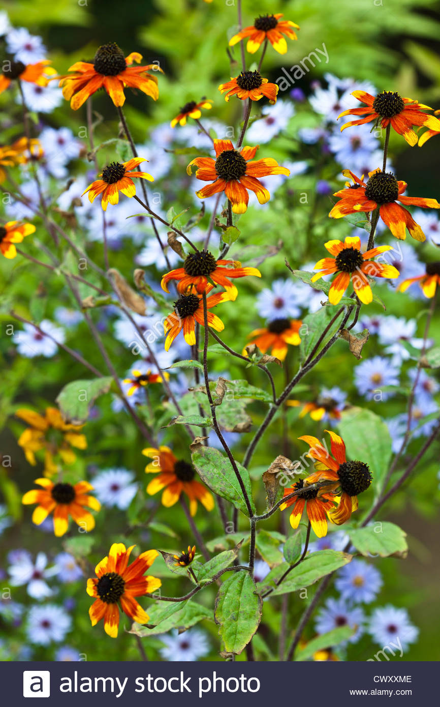 Rudbeckia prairie glow stock photos rudbeckia prairie glow stock browneyed susan rudbeckia triloba prairie glow summer flower perennial black orange yellow august aster blue tall mightylinksfo