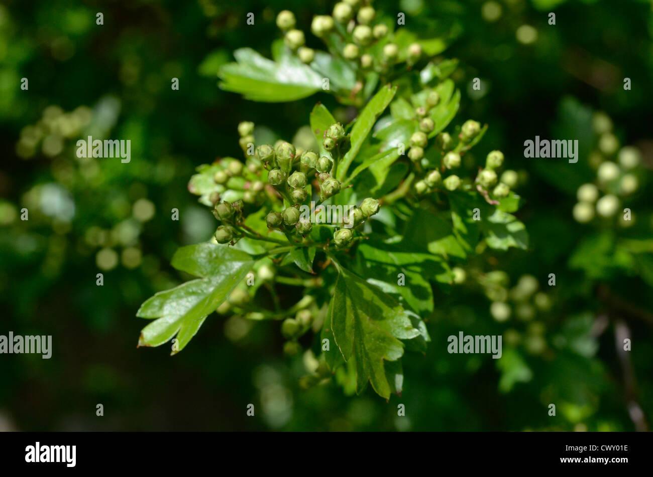 Flower buds of Hawthorn tree / Crataegus monogyna. - Stock Image