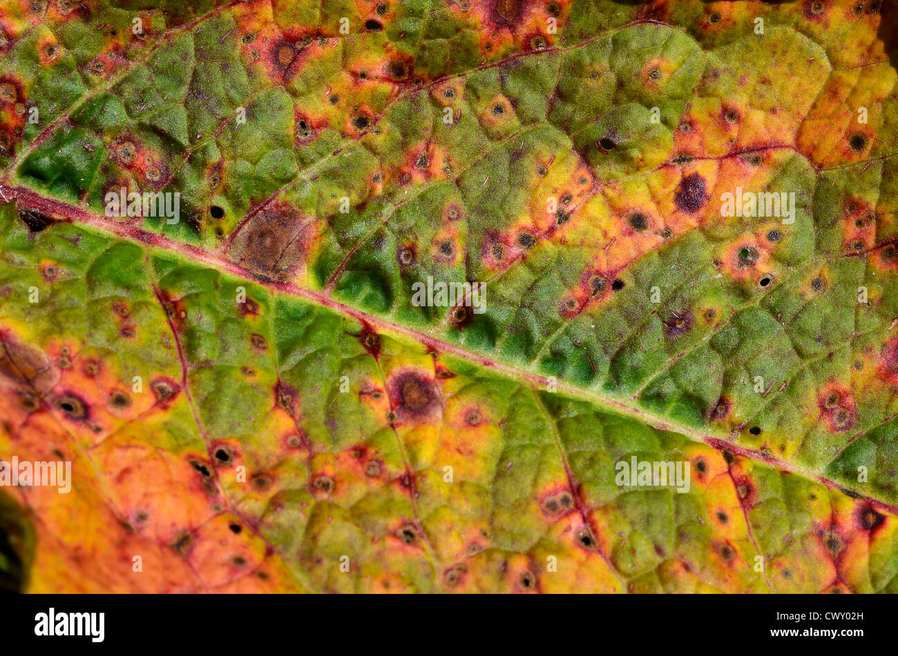 Close detail of diseased leaf of Broad-Leaved Dock (Rumex obtusifolius) - possibly from Ramularia rubella. Focus - Stock Image