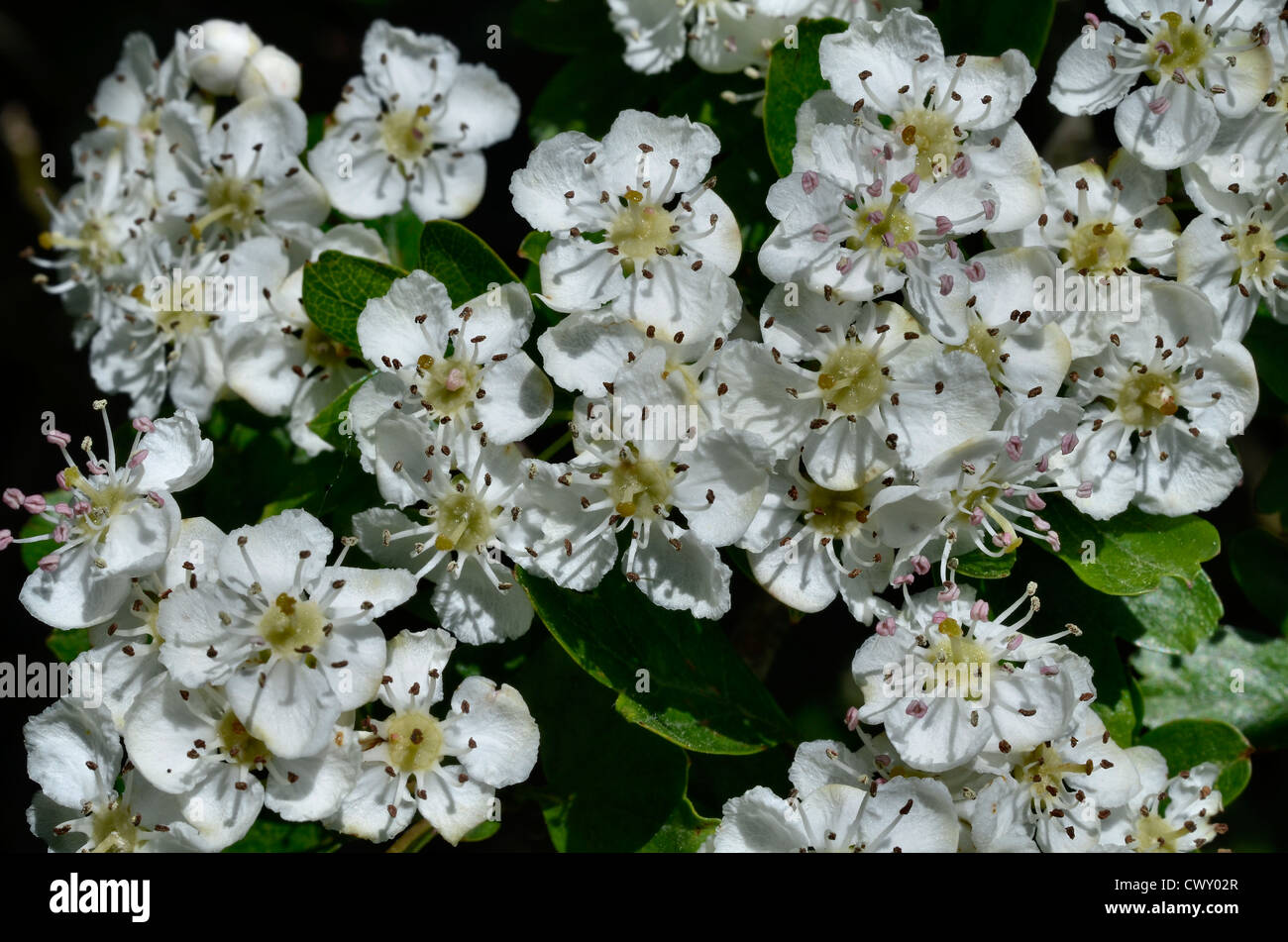 Flowers of Hawthorn tree / Crataegus monogyna. - Stock Image