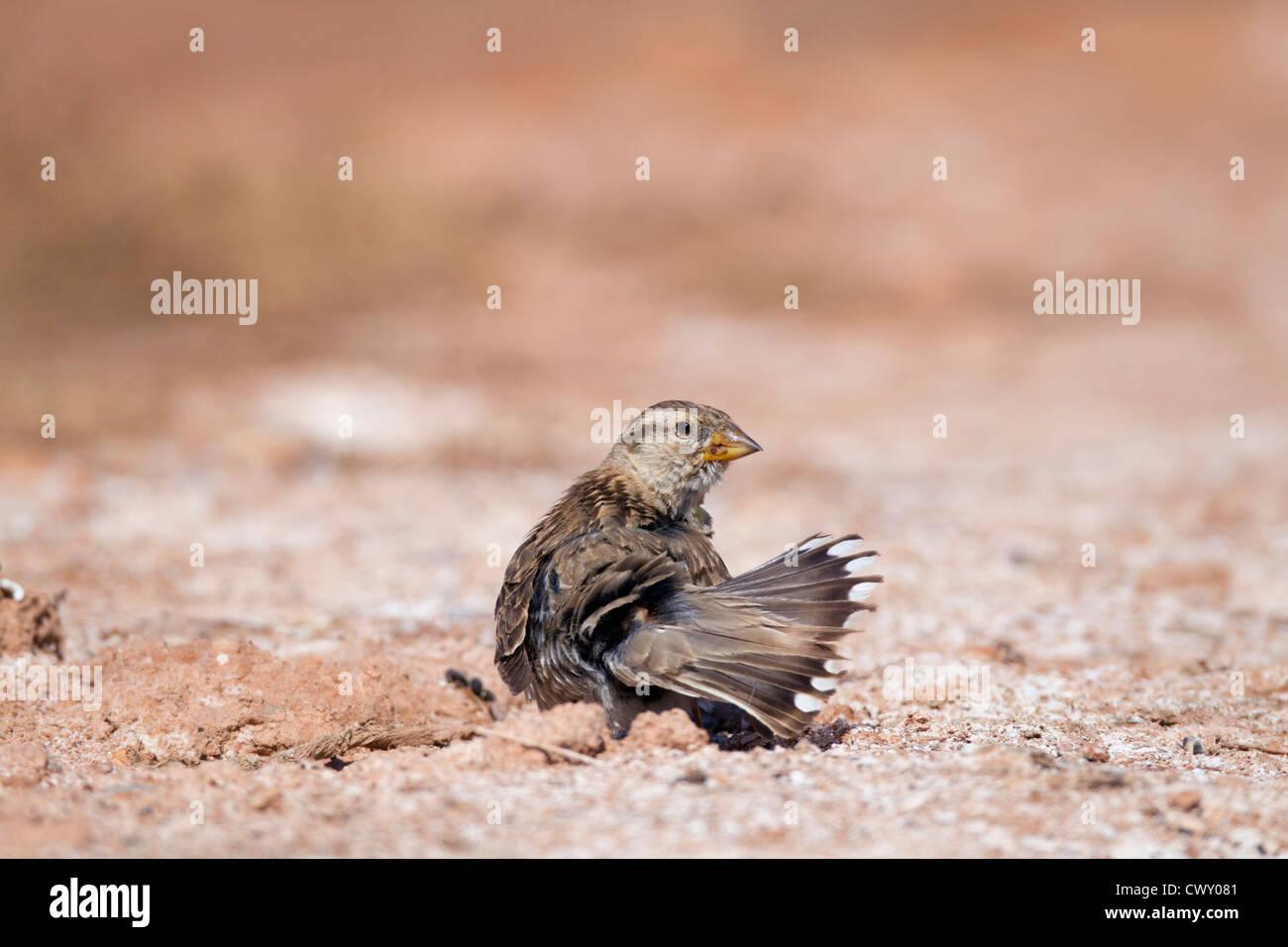 Rock Sparrow; Petronia petronia; dust bathing; Spain; summer - Stock Image