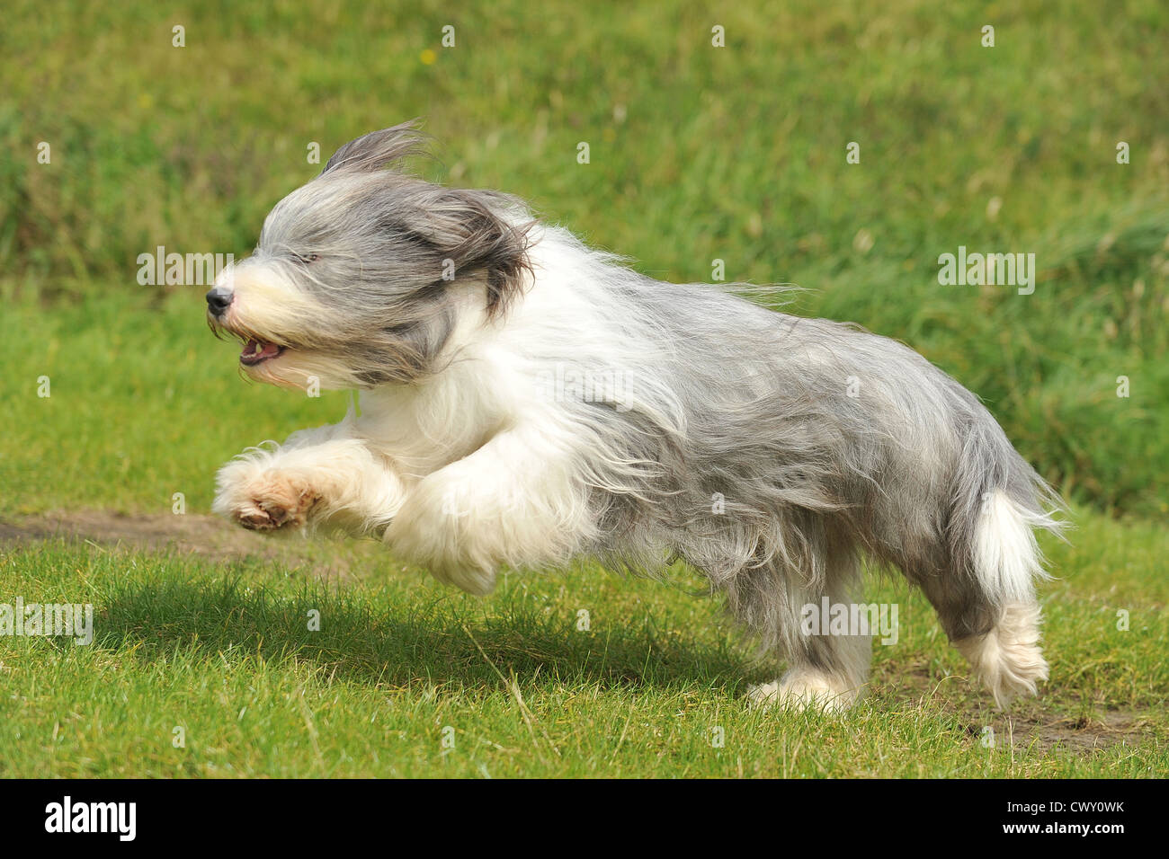 bearded collie leaping - Stock Image
