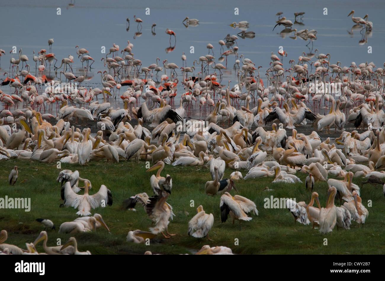 Flamingos and pelicans, resting and feeding at Lake Manyara - Stock Image