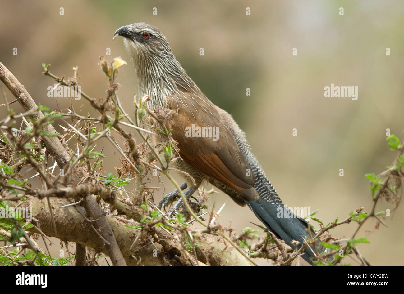 White-browed Coucal on acacia tree, feeding on small insect - Stock Image