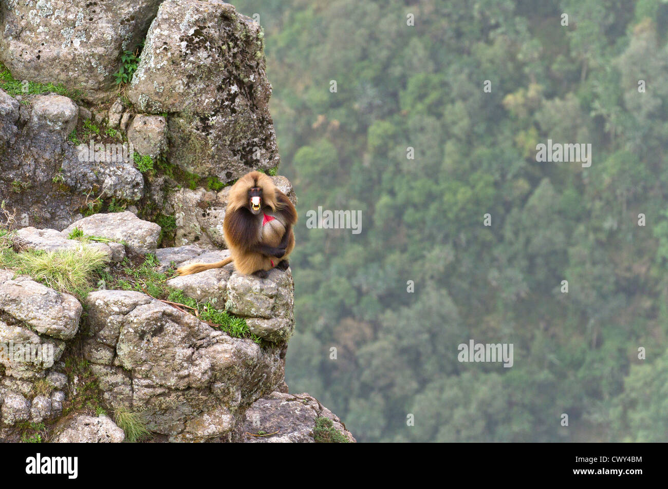 Male Gelada baboon 'Theropithecus gelada' showing sign of aggression on a cliff's edge Simien Mountains - Stock Image