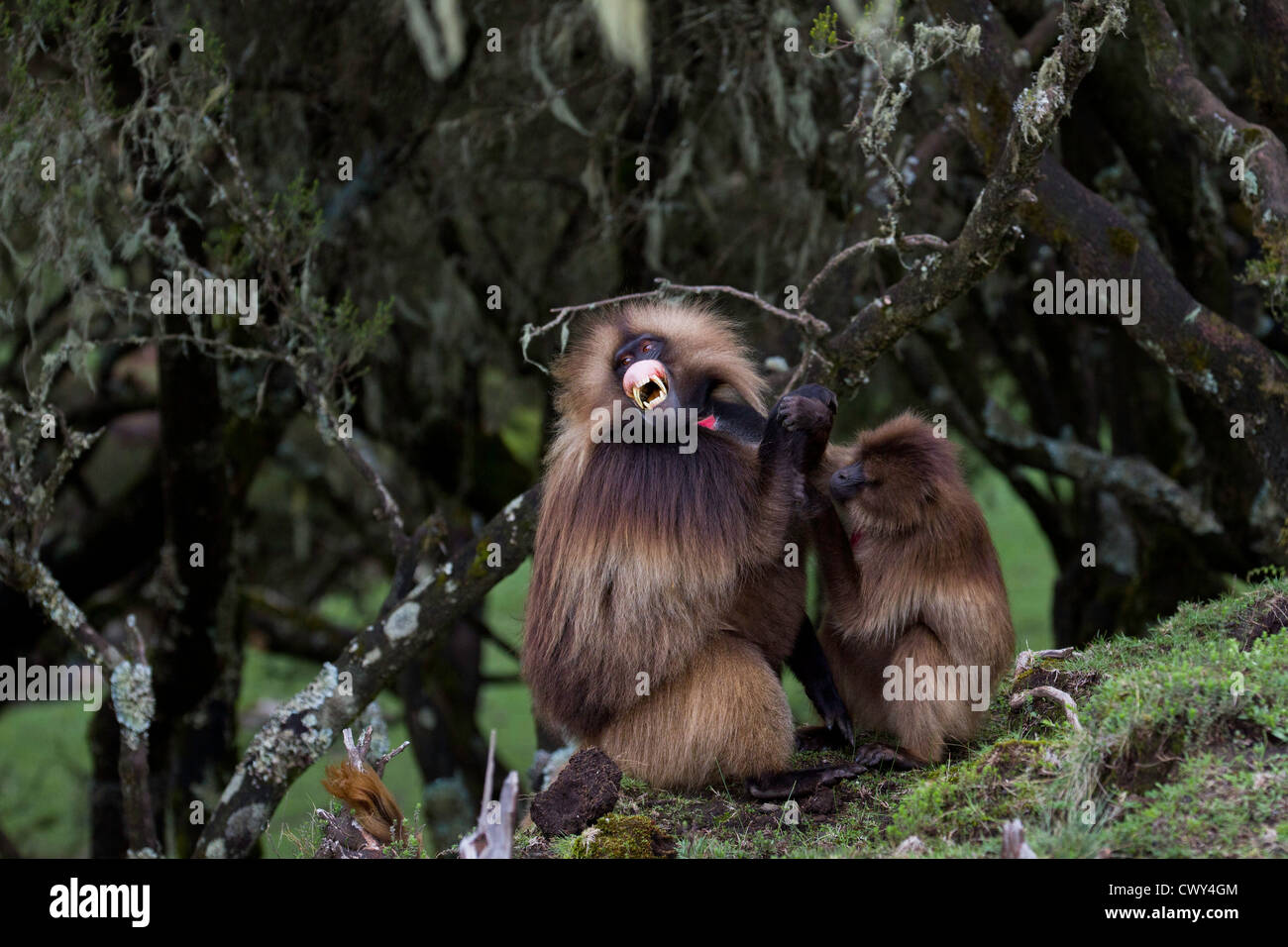 Male Gelada baboon (Theropithecus gelada) showing sign of aggression while being groomed Simien National park Ethiopia. - Stock Image