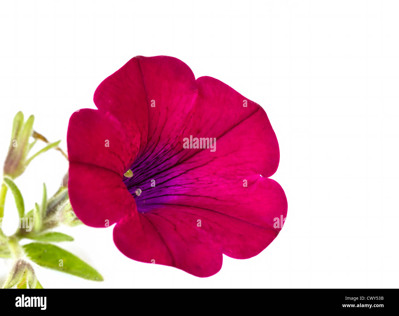 Red petunia flower on white background - Stock Image