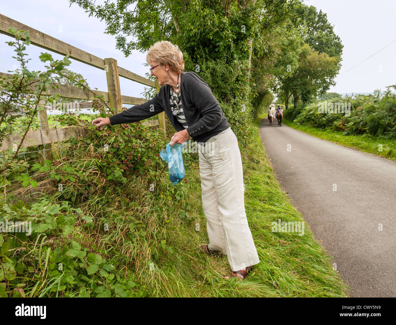 LADY PENSIONER FORAGING FOR BLACKBERRIES IN COUNTRY LANE WITH HORSES AND RIDERS IN BACKGROUND GLOUCESTERSHIRE UK - Stock Image