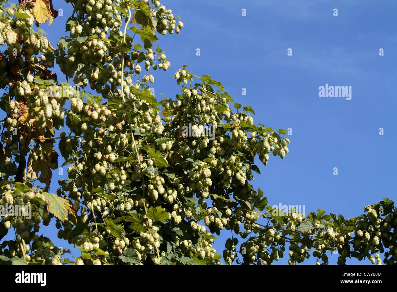 Hop growing near Faversham - Stock Image