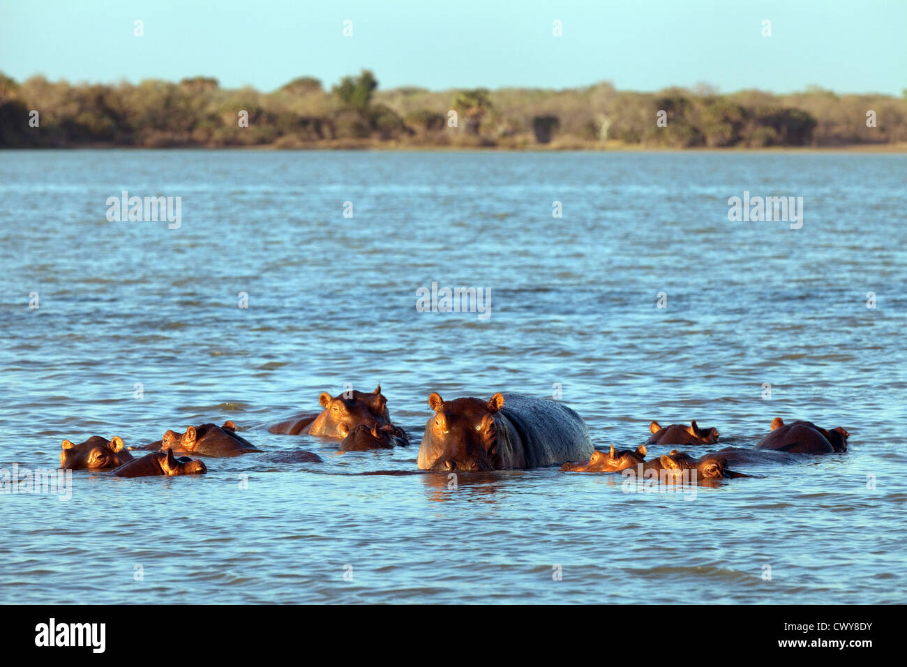 Hippos in Lake Manze, the Selous Game reserve Tanzania Africa - Stock Image