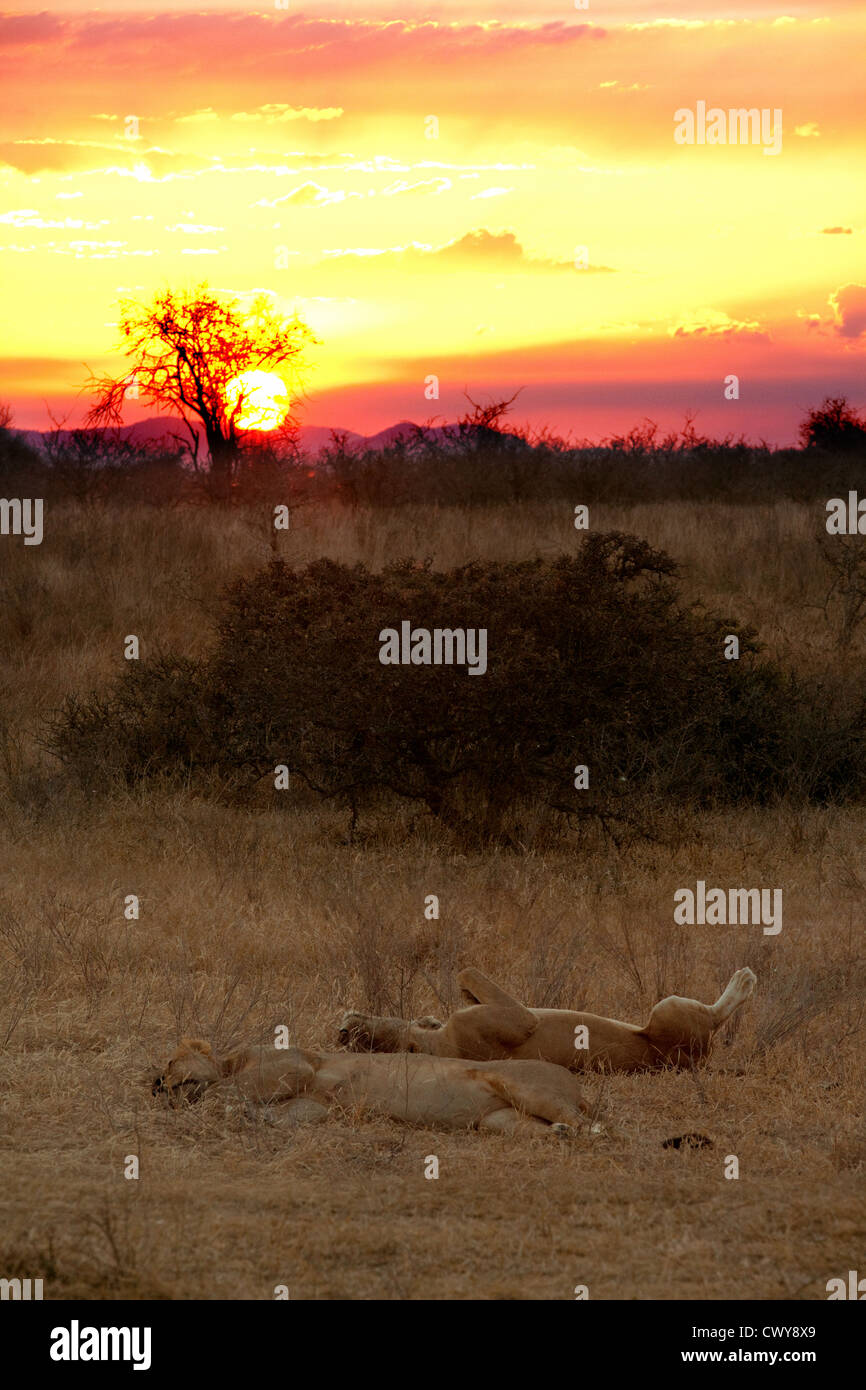African sunset with resting lions, Selous Game Reserve Tanzania , Africa - Stock Image