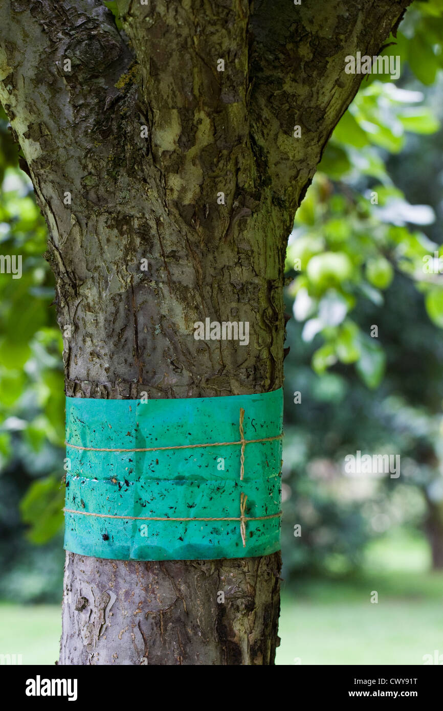 Grease band around an apple tree trunk, used to prevent wingless moths climbing the trunk of the tree. - Stock Image