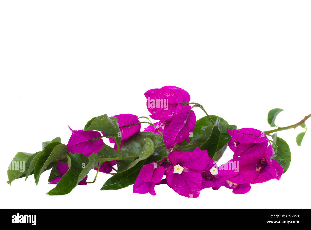 bougainvillea violet flowers brunch - Stock Image