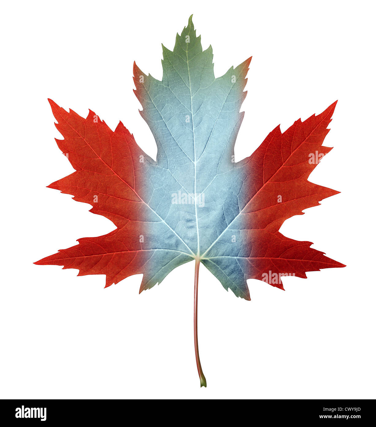 Canada maple leaf with the canadian flag colors painted on the fall ...