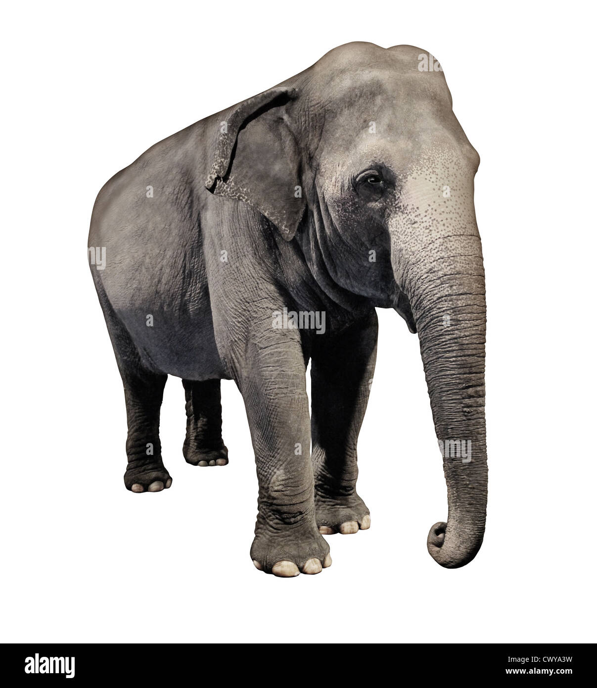 Elephant Animal Isolated On A White Background In A Three Quarter