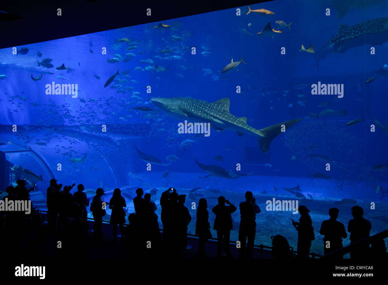 Giant Whale Sharks dwarf silhouetted visitors to the Churaumi Aquarium in Okinawa, Japan. Stock Photo