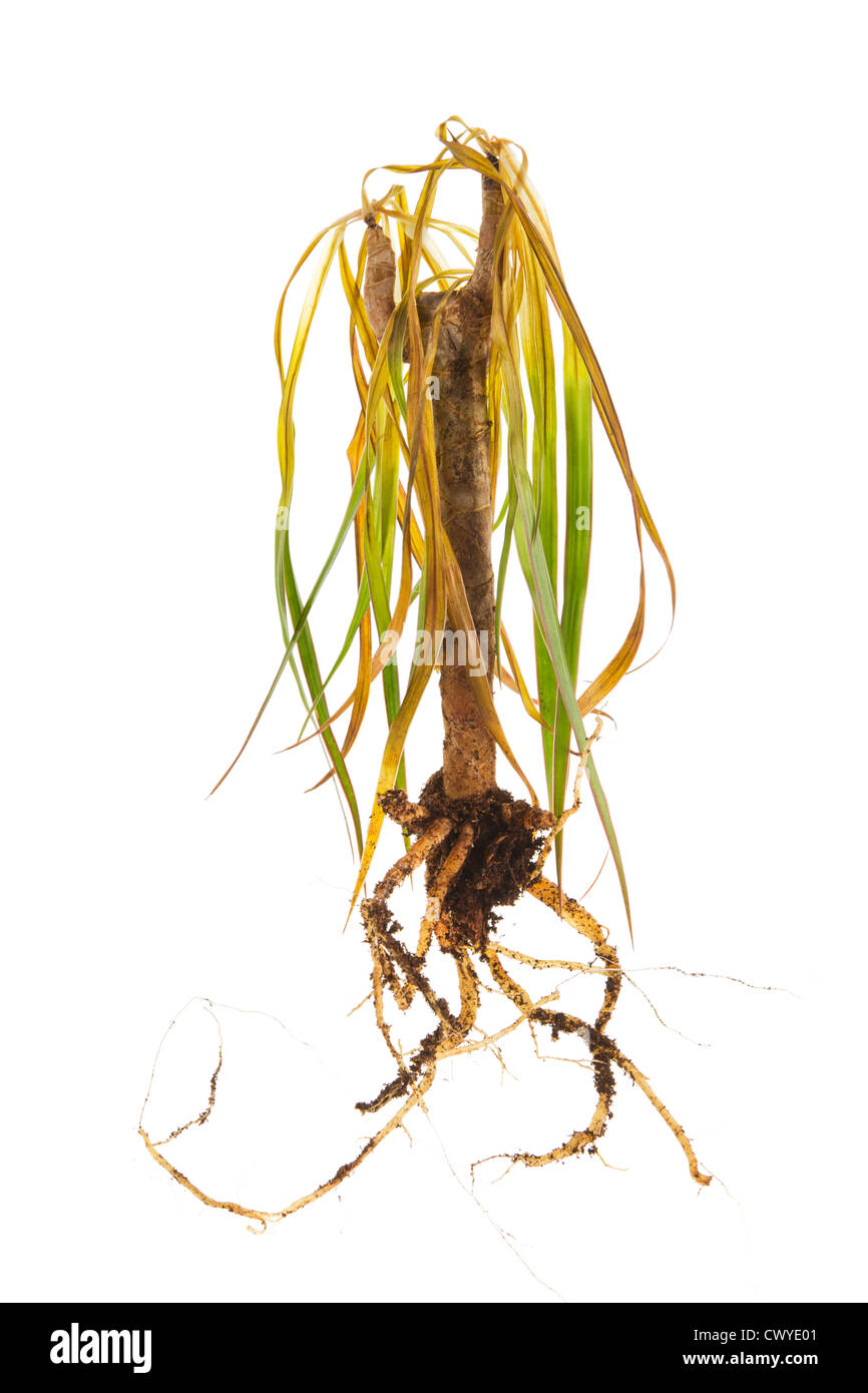 Dead plant with roots on a white background - Stock Image