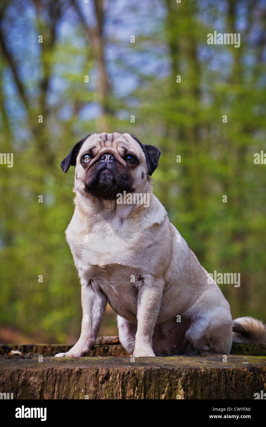 Mops on a snag - Stock Image