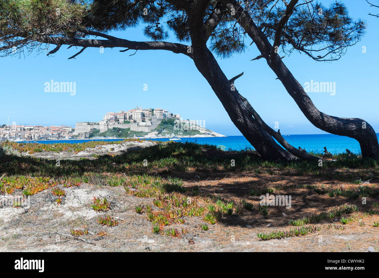 Pine trees on the beach of the gulf of Calvi, Corsica, France - Stock Image