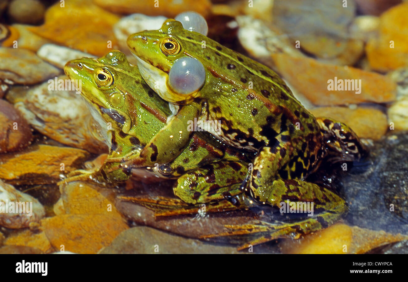 Pool Frogs (Pelophylax lessonae) mating - Stock Image