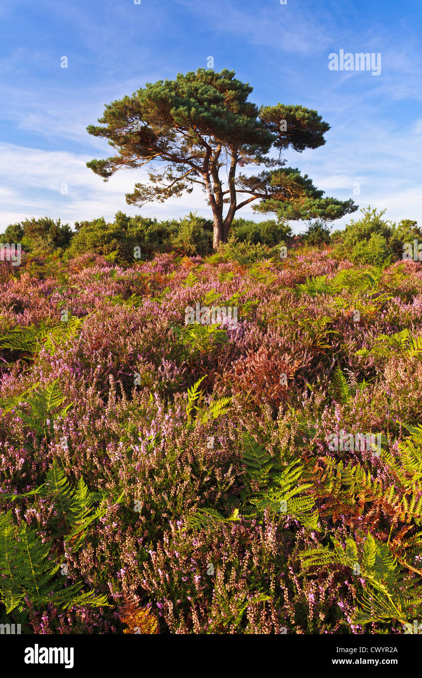 The infamous lone pine tree in the New Forest, Hampshire Stock Photo