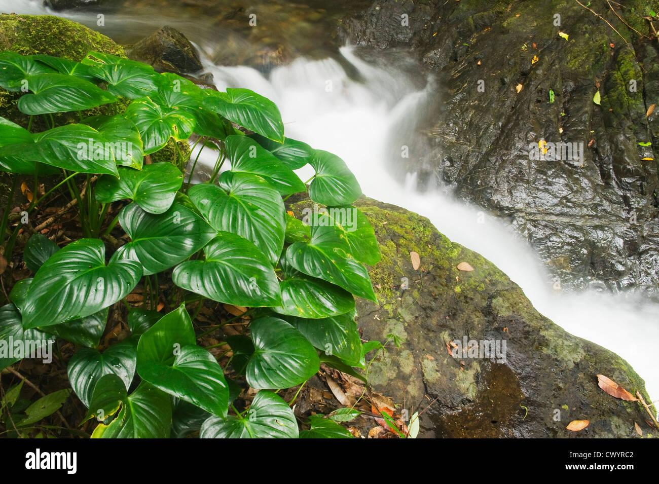 Rainforest Stream,  Mt. Tompotika, Central Sulawesi, Indonesia - Stock Image