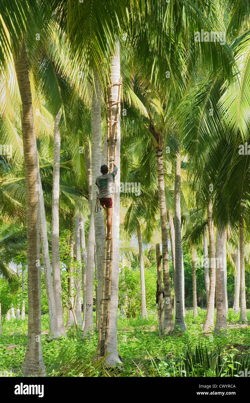 Coconut Harvest , Central Sulawesi, Indonesia - Stock Image