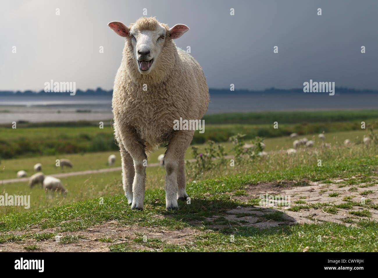 Bleating sheep on dyke - Stock Image