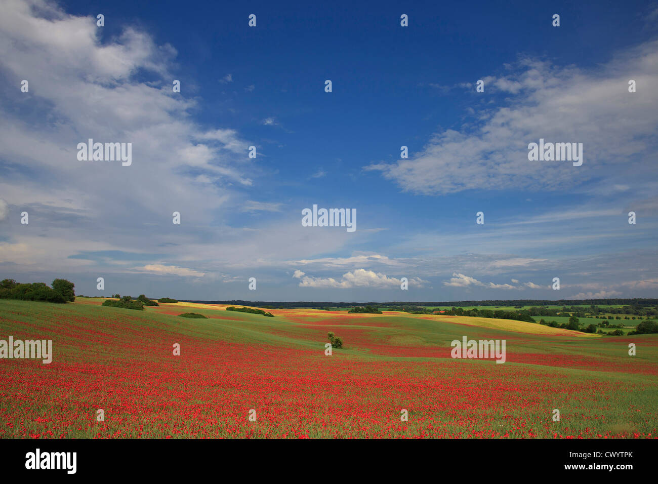 Corn poppy field in Uckermark, Brandenburg, Germany - Stock Image
